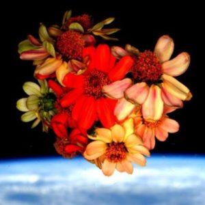 space zinnia scott kelly nasa astrobotany