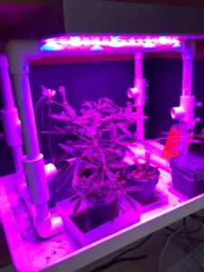 astrobotany purple light VEGGIE plants in space